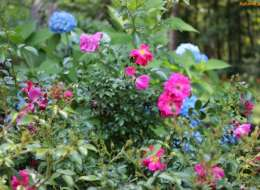 Knock out rose plant bed