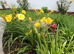 Yellow daylily landscape plant bed