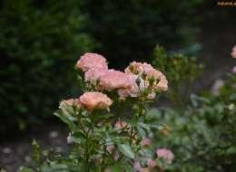 Knock out rose landscape plant bed