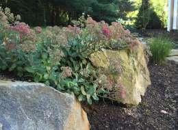 Moss rock boulders with flowering sedum
